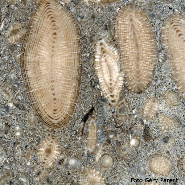 foraminiferi fossili