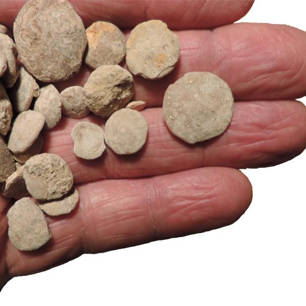fossili di nummuliti