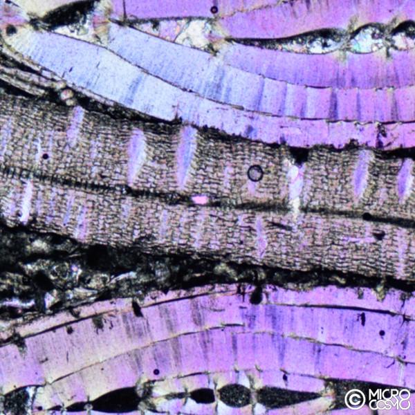nummulite al microscopio polarizzatore